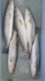 trout-cooler