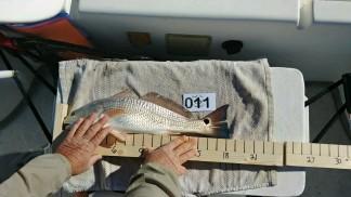 Rat Redfish