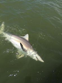 Denny Shark